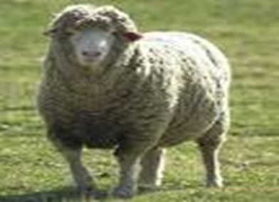 پاورپوینت طرح پروار 100 راس گوسفند بلوچی