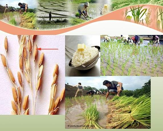 پاورپوینت تثبیت بیولوژیكی نیتروژن در مزارع برنج